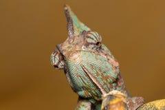 Calyptratus Chamaeleo Стоковые Фотографии RF