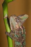 Calyptratus Chamaeleo Стоковое Фото