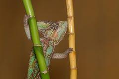 Calyptratus Chamaeleo Стоковая Фотография