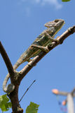 calyptratus chamaeleo kameleon Yemen Obraz Stock