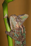 Calyptratus de Chamaeleo Photo stock