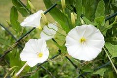 Calystegia blanc Photographie stock libre de droits