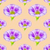 Calystegia sepium, larger bindweed. Seamless pattern texture of. Calystegia sepium, larger bindweed. Texture of flowers. Seamless pattern for continuous Royalty Free Stock Photography