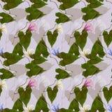 Calystegia sepium. Seamless pattern texture of pressed dry flowe Stock Image