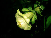 Calystegia silvatica (convolvulus). With white flowers in the darkness Stock Images