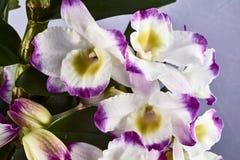 Calyx λουλούδι dendronium Στοκ εικόνα με δικαίωμα ελεύθερης χρήσης
