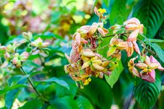 The calyx expanded into five lobe of orange pink yellow. And with soft short hairs according to the branches The bottom leaves, flower petals art ashanti royalty free stock images