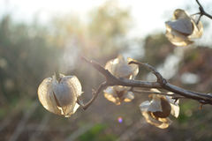 Calyx seu Fructus. Physalis in sunshine Royalty Free Stock Images