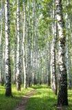 Calzada con los abedules verdes en el bosque del verano Imagen de archivo libre de regalías