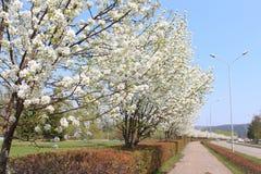 Calzada con los manzanos florecientes Imagen de archivo