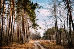 Calzada de la trayectoria del camino a través de Forest Nobody Primavera temprana o tarde A Imágenes de archivo libres de regalías