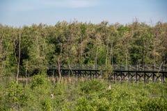 Calzada de madera en el bosque del mangle Fotografía de archivo libre de regalías