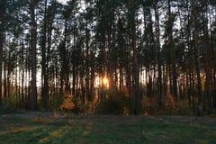 Calzada a través del pino Forest Sunset Sunrise In Summer Forest Trees imagen de archivo libre de regalías