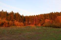 Calzada a través del pino Forest Sunset Sunrise In Summer Forest Trees foto de archivo libre de regalías