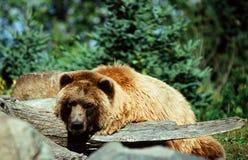 Camée d'Alaska d'ours de Brown Photographie stock libre de droits