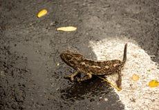 caméléon Photo libre de droits