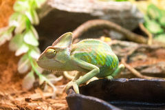 caméléon Photo stock
