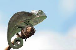 caméléon images libres de droits