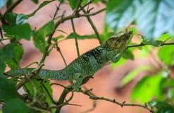 Caméléon, Amber Mountain National Park, Diana, Madagascar images libres de droits