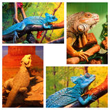 Caméléon bleu, iguane, agame barbu Image libre de droits