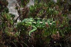 Caméléon dans l'herbe Photographie stock