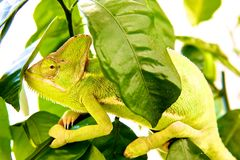 Caméléon dans un arbre Photos libres de droits
