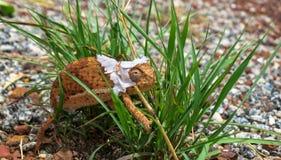 Caméléon de Brown Flapnecked - dilepis de chamaeleo sur l'herbe verte photographie stock libre de droits