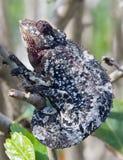 Caméléon de camouflage image libre de droits