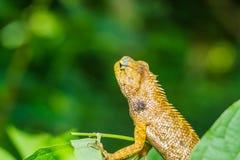Caméléon de la Thaïlande sur la feuille verte Image stock