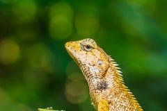 Caméléon de la Thaïlande sur la feuille verte Photos stock