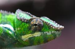 Caméléon de panthère en vert Images stock
