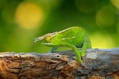 Caméléon de volontés d'auvent, Furcifer willsiisitting sur la branche dans l'habitat de forêt Beau reptile vert endémique exotiqu images libres de droits
