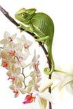 Caméléon et orchidée Photographie stock libre de droits