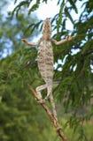 Caméléon géant malgache de prière Image libre de droits