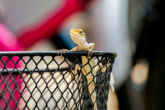 Caméléon jaune se tenant sur la grille de panier Photo stock