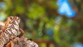 Caméléon lisse - laevigatus de chameleo - grimper à un arbre photos stock