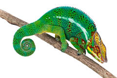 Caméléon mâle sur le branchement d'arbre photos stock
