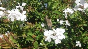 Caméléon nain dans un buisson de fleur blanche image libre de droits