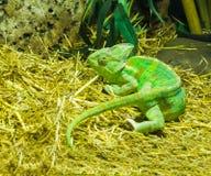 Caméléon principal coloré vert vif de cône un animal familier tropical de mini-serre d'Arabie images libres de droits