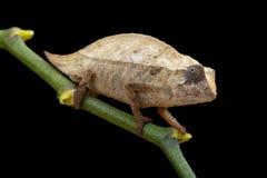 Caméléon pygméen Photographie stock libre de droits