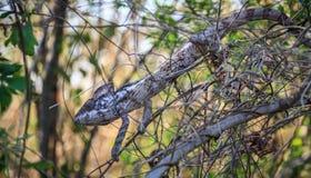 Caméléon, réserve naturelle de Tsingy de Bemaraha Strict, région de Melaky, Madagascar photo libre de droits