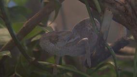 Caméléon sauvage pendant la chasse i la forêt tropicale banque de vidéos
