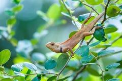Caméléon sur l'arbre, Lacertilia Photographie stock