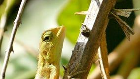 Caméléon sur la branche dans la forêt tropicale banque de vidéos