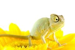 Caméléon sur la fleur. image libre de droits