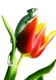 Caméléon sur la tulipe Images libres de droits