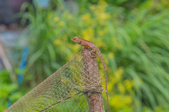 Caméléon sur le fond vert en bois Photo libre de droits