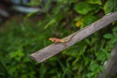 Caméléon sur le fond vert en bois Photo stock