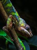 Caméléon sur un bâton vous regardant dans l'habitat naturel photos stock