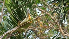 Caméléon sur une branche dans la forêt Thaïlande de jungle banque de vidéos